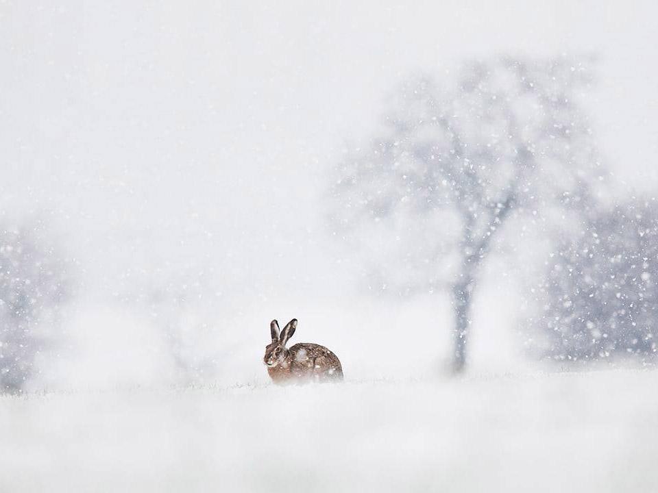Mezei nyúl a hóban